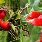 Плод Шипка срещу плод Годжи бери